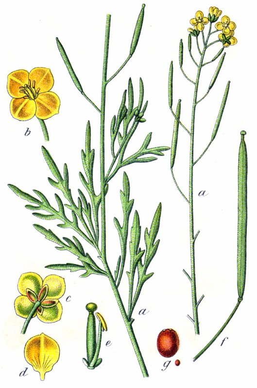 Diplotaxis (fausse roquette)