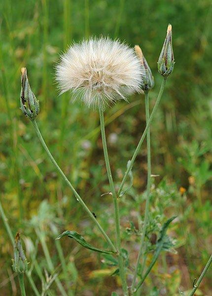 Scorzonera laciniata (La Galinette)