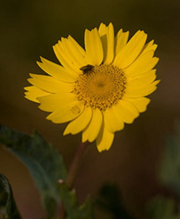 Chrysanthème des moissons (Chrysanthemum Segetum)