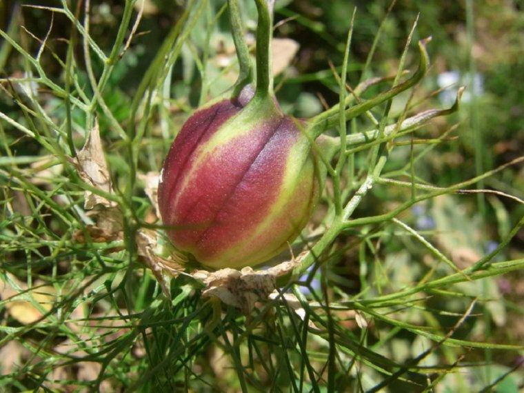 Nigelle de Damas, Nigelle cultivée