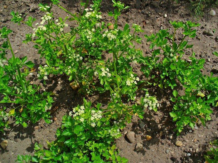 Apium graveolens Céleri sauvage