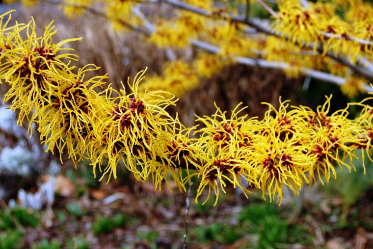 Hamamelis - Gastronomic and Medicinal Nature