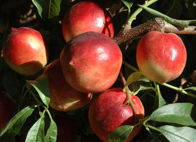 Le Nectarinier