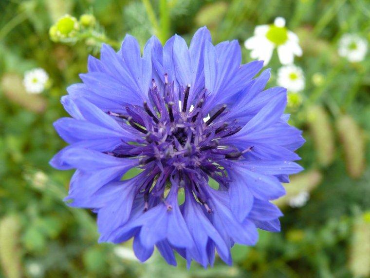 Le Bleuet