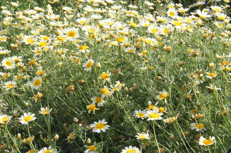 Chrysanthème comestible