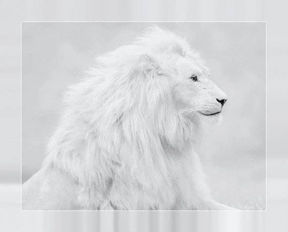 LE ROI LION.