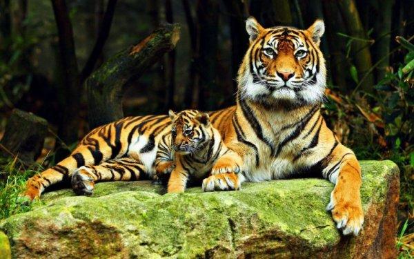 MAGNIFIQUES TIGRES.