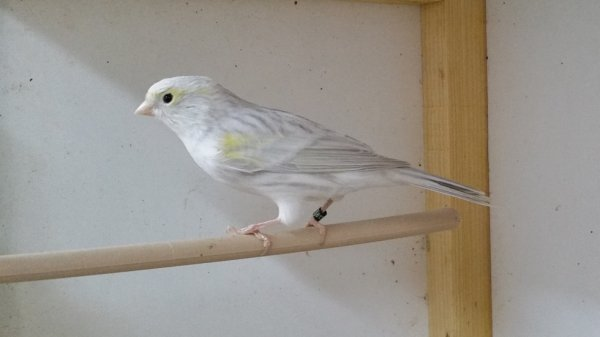 femelle agate oplae mosaique jaune