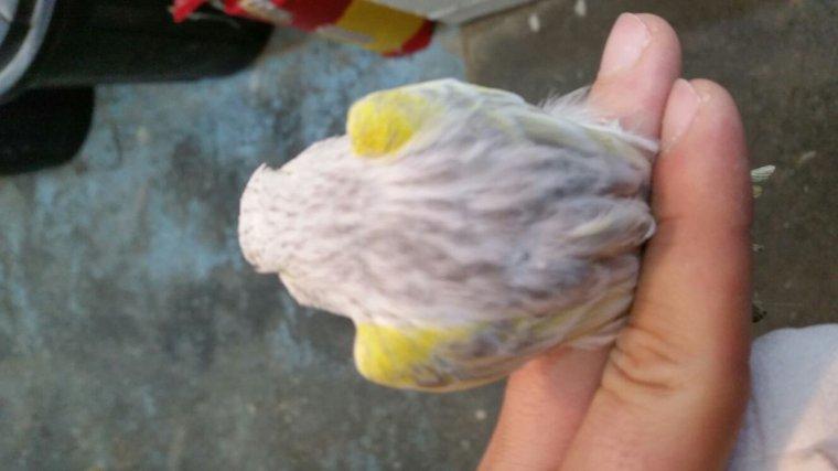 Agate opale mosaique jaune femelle
