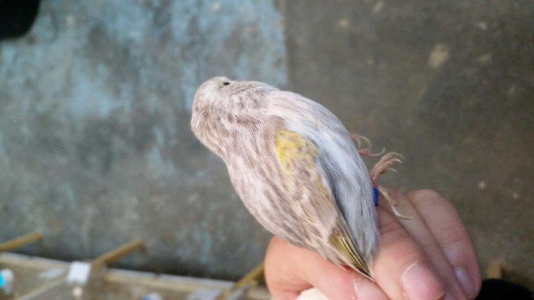 Femelle agate jaspe mosaïque jaune