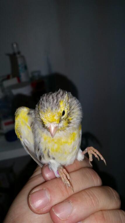 Un agate mosaique jaune en mue