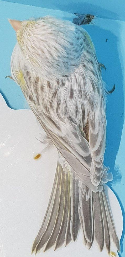 femelle opale jaune mosaique en mue