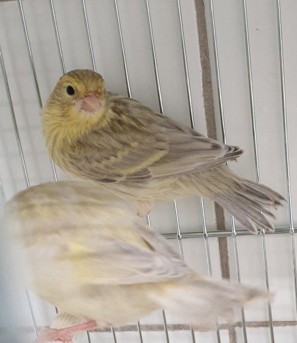 Agate jaspe mosaique jaune SD