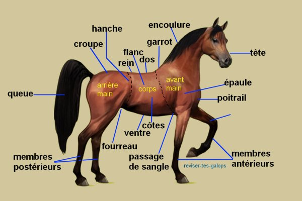 Galop 1 de cavalier : Anatomie du cheval (Hippologie)