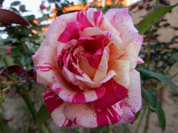 ENCORE QUELQUES ROSES  ....... FAUT EN PROFITER
