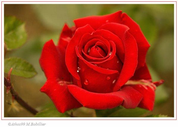 Homage aux roses ;D