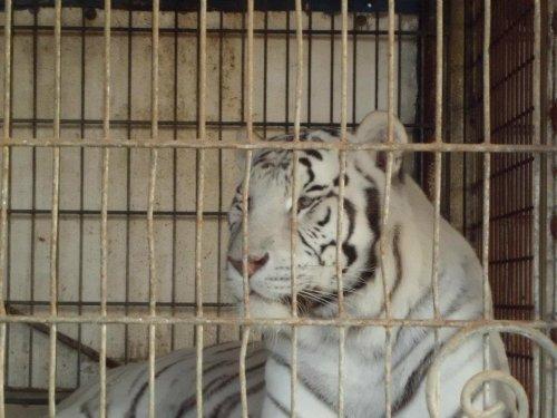 mon aminal préférer le tigre blanc