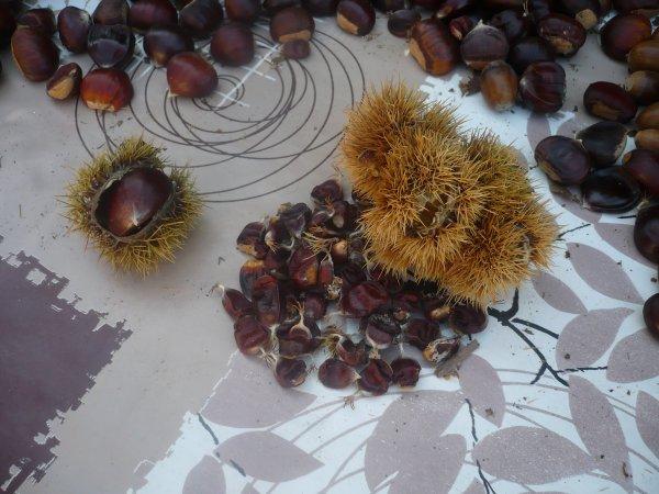 Des châtaignes ,des marrons et des glands de chêne ...