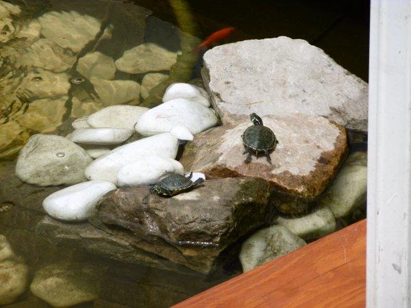 Les nouvelles occupantes de notre bassin .