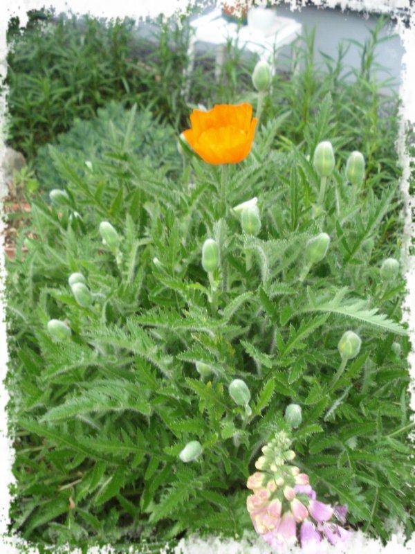 ♥ Mon lupin & pavot en fleurs ♥