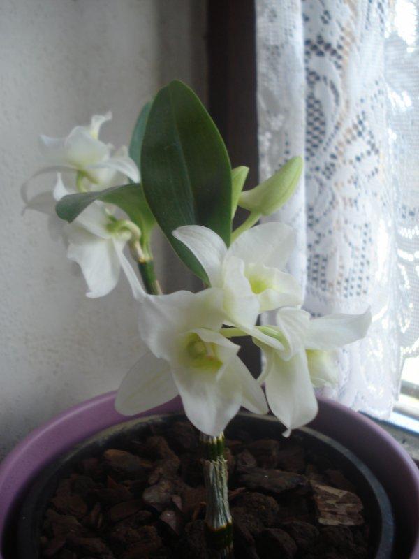 Ma nouvelle orchidée Dendrobium fleurit ....♥