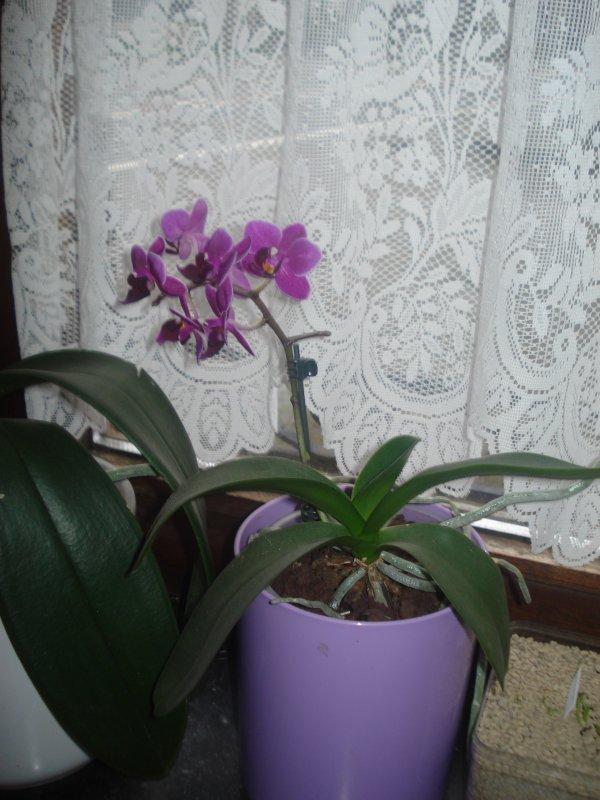 ♥ Mes orchidées en ce mois de janvier ♥