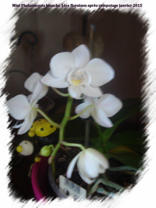 Une mini orchidée qui refleurit enfin  ♥