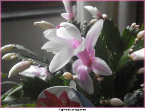 Mon Schlumbergera en fleurs ♥