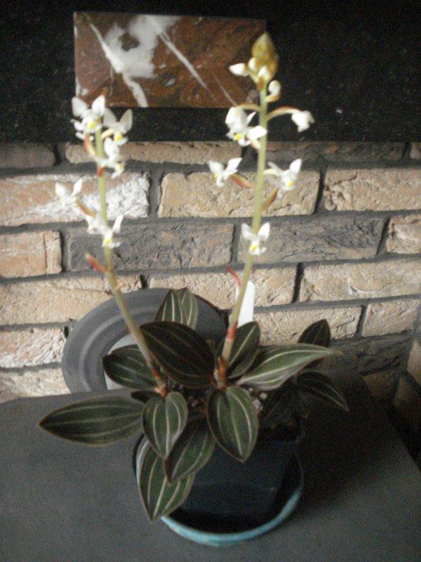 Nouvelles floraisons d'orchidées....que du bonheur