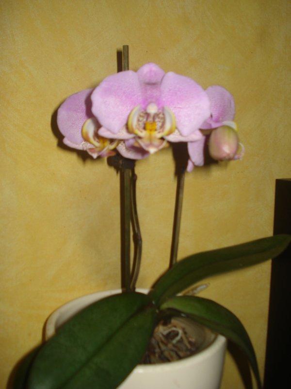 De nouvelles floraison d'orchidées ♥♥♥