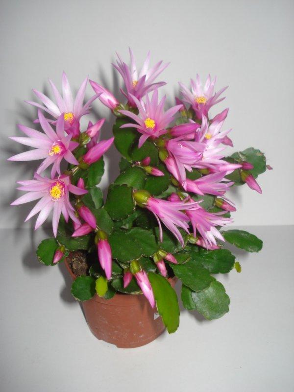 Mon cactus de Pâques en fleurs
