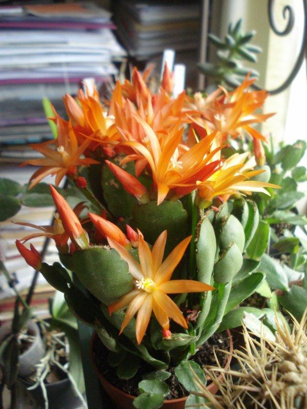 Encore un cactus de Pâques