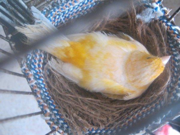 ma femelle oranger