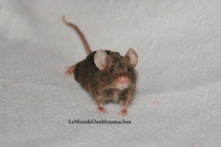 Fiche de présentation de la souris.