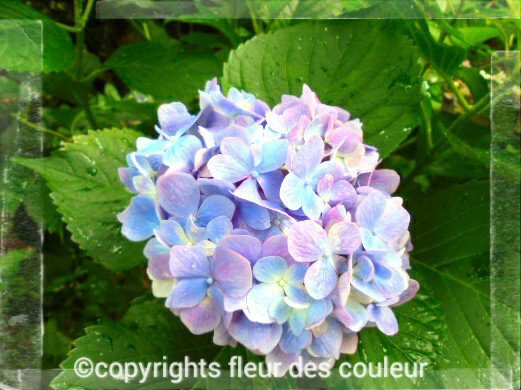 A flower of hydrangea with a beautiful hue.