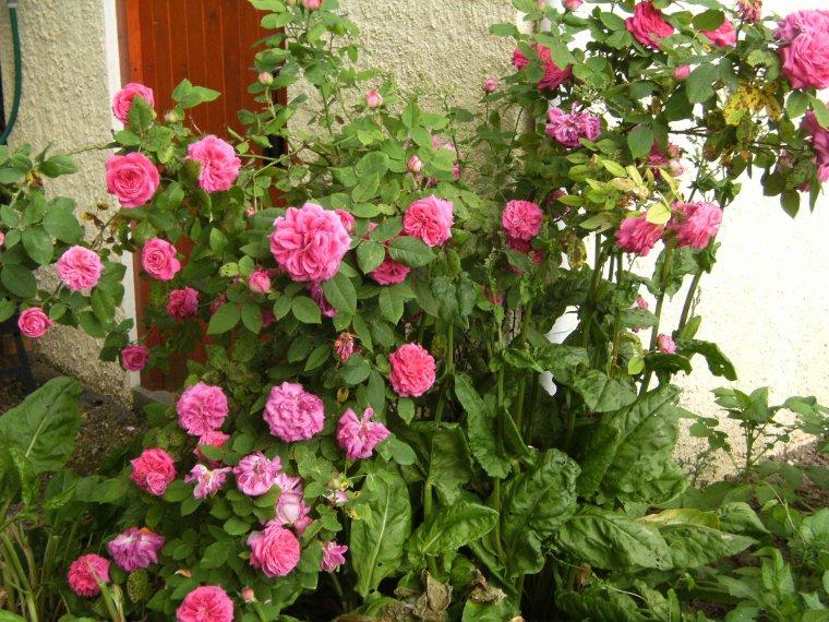 Pour tinaa 60 et celles qui aiment les roses  !!