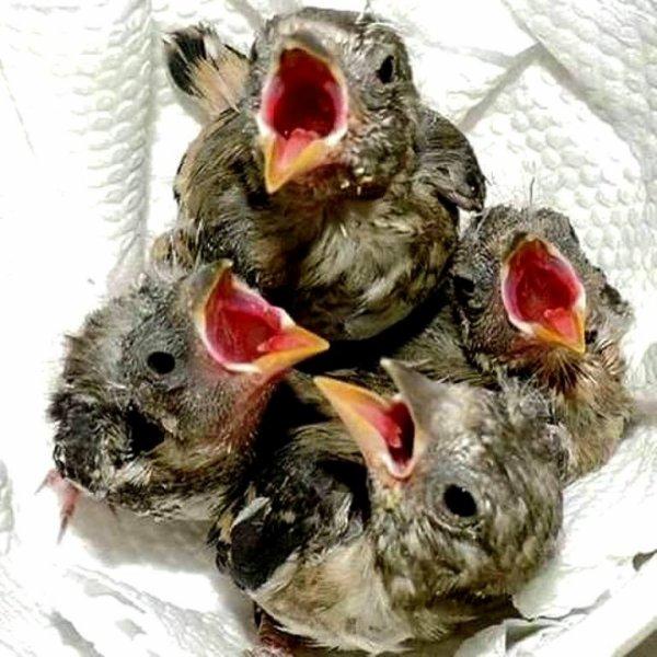 Un vrai bonheur de voir les petits Chardonnerets cette photo pour tous qu'aime ce magnifique oiseau