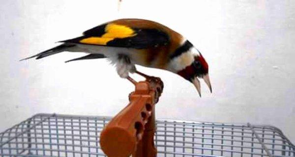 Le champion de tous les oiseaux chanteurs rien ne peut t'égalé bien sur LE CHARDONNERET