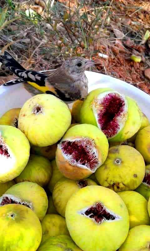 Le chardonneret aime trp mange les grains la figue ........ ;)  de : مصطفى الشغري