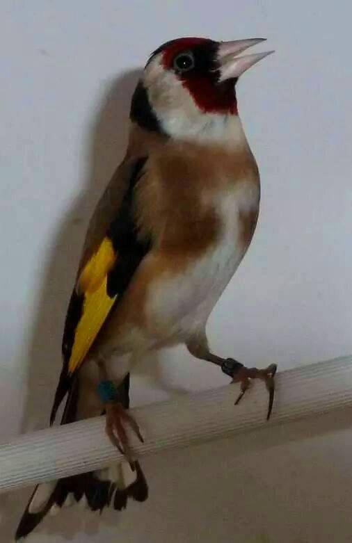 Le meilleur oiseau au monde Le beau Chardonneret en pleine parade nuptiale