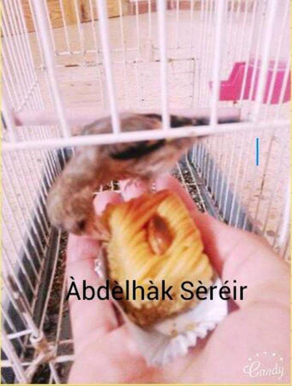 Un jeune Chardonneret mange de Bakloua الحسون الصغير أكل الباقلاوا de : Àbdèlhàk Sèréir