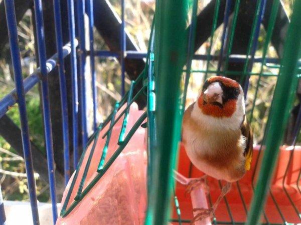 qui ose dire que Le Chardonneret ce n'est pas très beau oiseau cette photo preuve le contraire il est majestueux votre oiseau Beka  de : Beka Amrouche