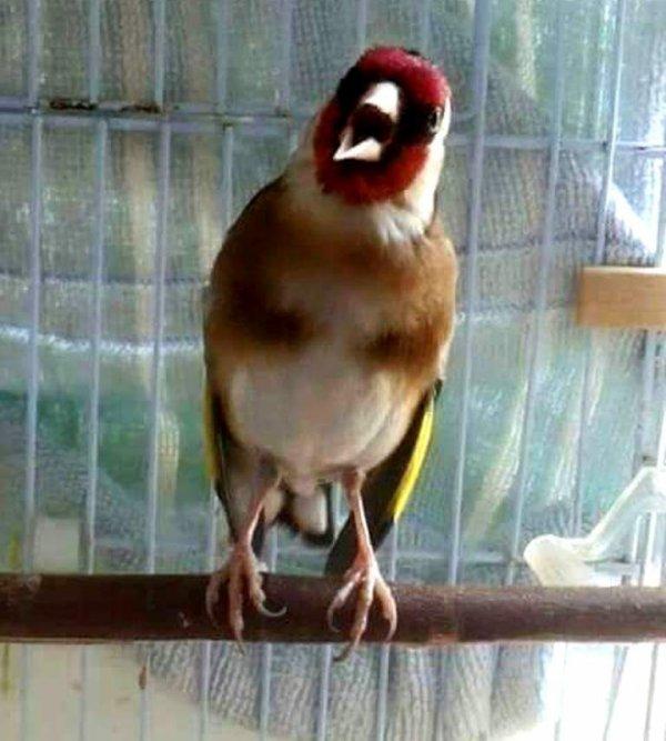 Le grand oiseau Chanteur aucun ne peu l'égalé