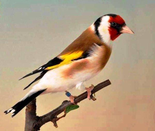 L'oiseau parfait <3 Le Chardonneret <3