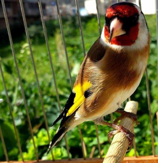 La vraie star au royaume des oiseaux <3 Le Chardonneret tu es toujours le plus beau <3