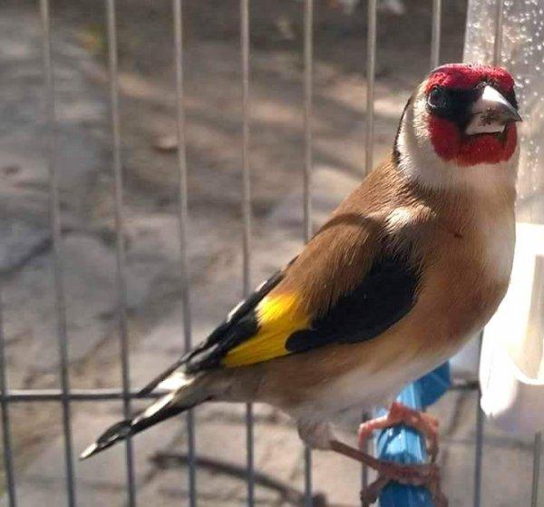 L'oiseau Chanteur par excellence et aucun autre oiseau ne peu l'égalé  <3 Le Chardonneret une vraie puissance en Chant <3