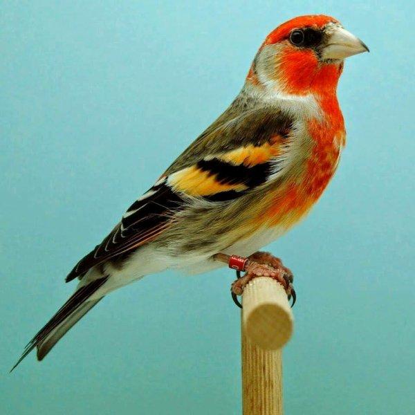 Magnifique hybride Chardonneret / entre un Chardonneret X Crossbill oiseau bec croisé  <3 Le Chardonneret Toujours le meilleur <3 frère M :)