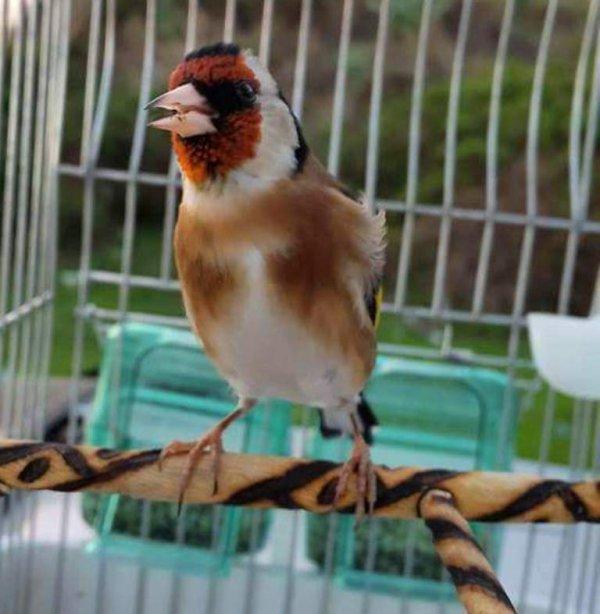 Le Chardonneret mérite vraiment le titre Oiseau de paradis  <3 Le Chardonneret Toujours le Top <3