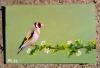 Un Dessin très bien fait (y) merci  de : Mehdi Hadibi #الحسون #المقنين #القرديل #سهره  #Chardonnerert #Canari #Mulet #MuletOiseau #Oiseau #Birds #Animaux #Goldfich #Jilguero #Cardellino #καρδερίνα #Sakakuşu #Chien #Chat #Pigeon #Cheval #Science #Reptile #Poisson #Plantes #Hibiscus #Alger #Algérie #Tunisie #Maroc #ChardonneretGolden