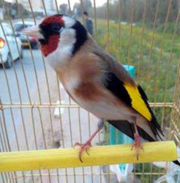 Toujours le top (y) #الحسون #المقنين #القرديل #سهره  #Chardonnerert #Canari #Mulet #MuletOiseau #Oiseau #Birds #Animaux #Goldfich #Jilguero #Cardellino #καρδερίνα #Sakakuşu #Chien #Chat #Pigeon #Cheval #Science #Reptile #Poisson #Plantes #Hibiscus #Alger #Algérie #Tunisie #Maroc #ChardonneretGolden